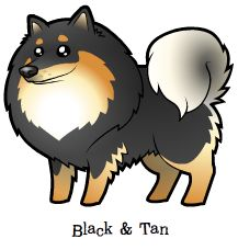 Black and Tan Finnish Lapphund / Swedish Lapphund