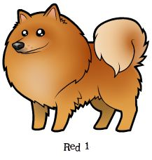 Red 1 Finnish Lapphund / Swedish Lapphund