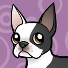 Boston Terrier with dark eyes